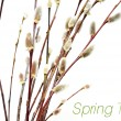 Stock Photo: Blooming willow
