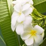 White Plumeria (frangipani) branch on green background. — Stock Photo