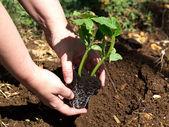 Planting pumpkin — Stock Photo