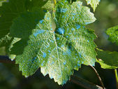 Grape leaf — Stock Photo