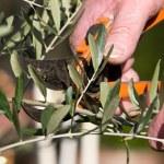 Olive tree — Stock Photo #9195076