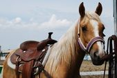 Haflinger horse — Stock Photo