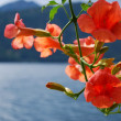Stock Photo: BigoniCampsis Radicans orange flowers