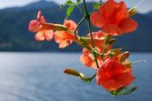 Bigonia Campsis Radicans orange flowers — Foto Stock