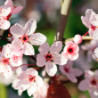 Close up of blooming cherry — Stock Photo