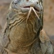 Komodo Dragon — Stock Photo