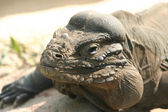 Rhinoceros Iguana — Stock Photo