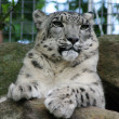 Snow Leopard — Stock Photo #8280349