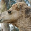 Stock Photo: Camel Face