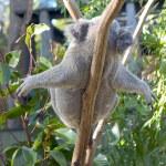 Lazy Koala — Stock Photo #8295941