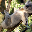 Lazy Koala - Stock Photo