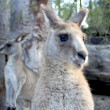 Kangaroo — Stock Photo #8295992