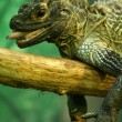 Foto Stock: Sailfin Lizard