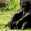Chimpanze — Stock Photo