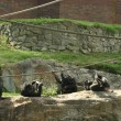 Group of chimpanze at zoo - Stock Photo