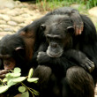 Chimpanze - Stock Photo