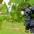 Wine Grapes — Stock Photo #8380042