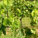 Grape Vine — Stock Photo #8380063
