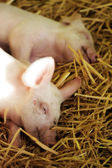 Sleeping Piglet — Stock Photo