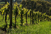 Rows of young grape — Stock Photo
