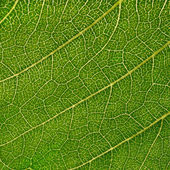 Sunflower leaf — Stock Photo