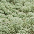 Stock Photo: Reindeer moss