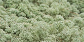 Reindeer moss — Stock Photo