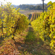 Vineyards and fields in Reggio Emilia hills — Stock Photo #8913349
