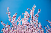 Blossoming tree branches in springtime — Stock Photo