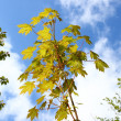 Maple tree — Stock Photo