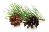 Cones with fir tree branch — Stock Photo