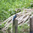 Common kingfisher — Stock Photo