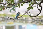 Common kingfisher — Stock Photo