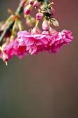 Rosa kirschblüten — Stockfoto