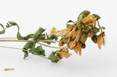 Dried herbs Hypericum perforatum — 图库照片