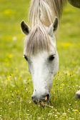 Horse grazing — Stock Photo