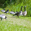 Wild geese in the park — Stock Photo