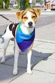Pet dog with a rainbow-clolred cloth — Stock Photo