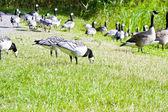 Wild geese in the park — Zdjęcie stockowe