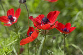 Red anemones in the grass — Stock Photo