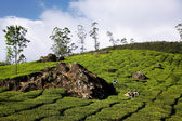 Green hill with the tea bushes — Stock Photo