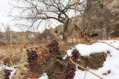 Dry grapes in the winter field — Stock Photo