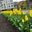 Stock Photo: Freshly planted tulips in park