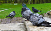 Many pigeons in the park. — Stock Photo