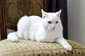 White cat with different eyes lying on a chair — 图库照片