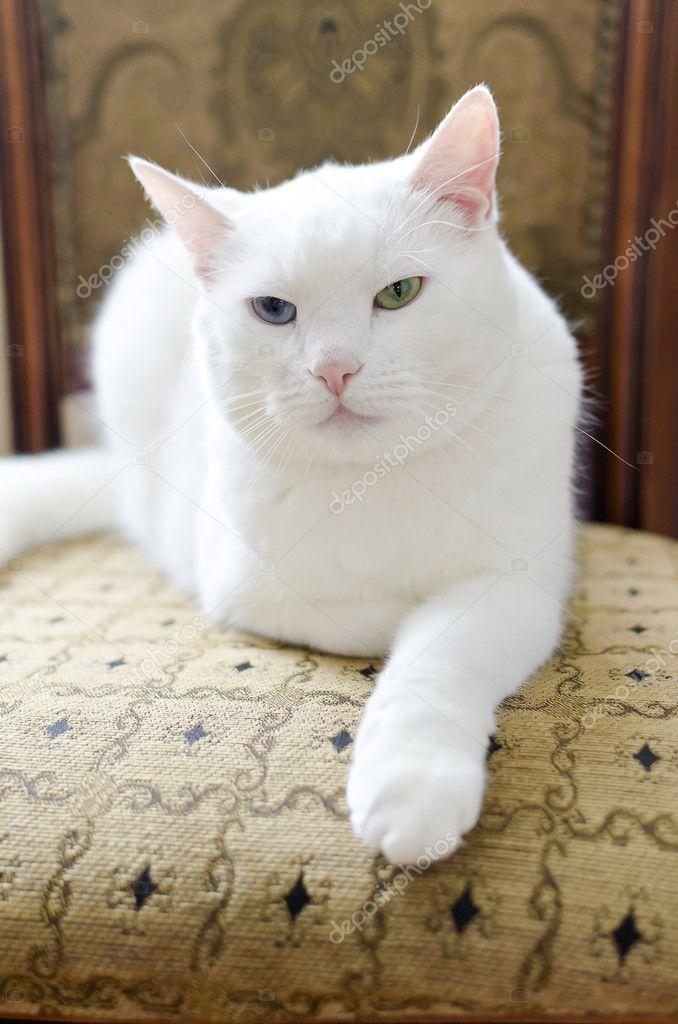 Gatto bianco con occhi diversi distesa su una sedia foto for Gatti con occhi diversi