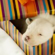 Newborn puppy sleeps — Stock Photo