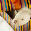 Newborn puppy sleeps — Stock Photo #10139323