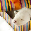 Newborn puppy sleeps — Stock Photo #10280249