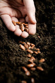 Planting bean seeds — Stock Photo